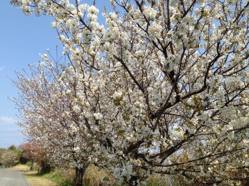 春の伊王島灯台公園は、桜並木の華やかさも加わります。