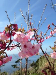 伊王島灯台は、桜が満開2