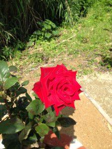 伊王島灯台のバラが咲き始めました2