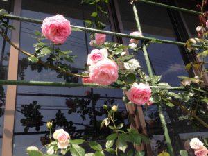 伊王島灯台のバラが咲き始めました3